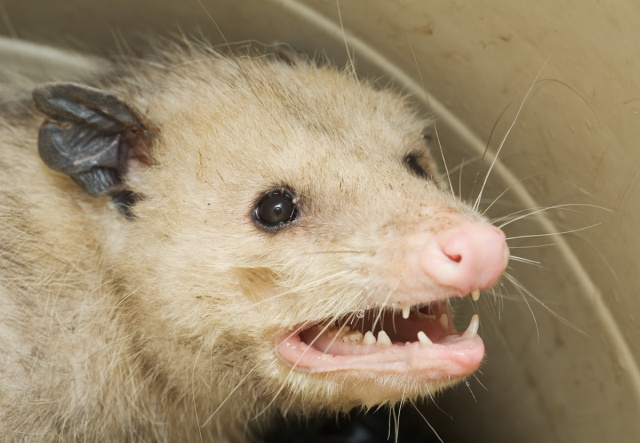 Can't read my, can't read my, no you can't read my possum face!