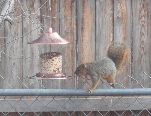 It takes a foxy squirrel to crack these silly squirrel proof feeders!