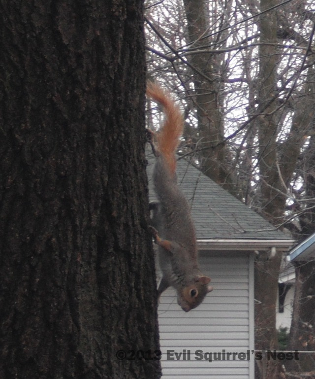 What?  A squirrel can't dye his tail once in a while?