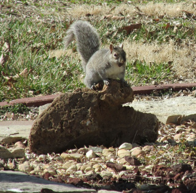 You can read about why squirrels have a bone to pick with the founding fathers here.