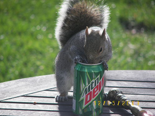 Squirrels and soda just go together...