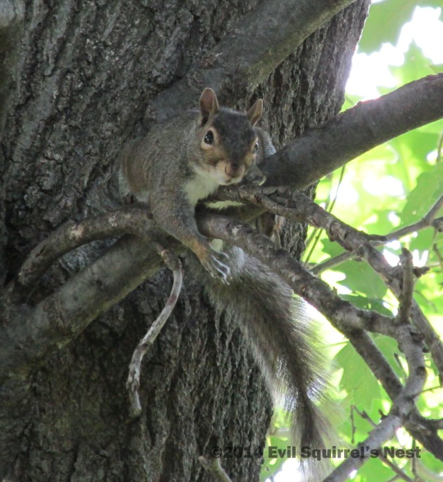 They'll take my acorns only when they climb up this tree and take them from my cold, dead paws.