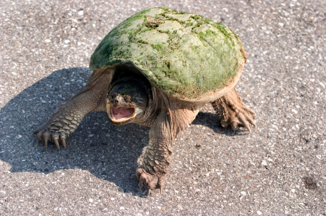 Never ask a snapping turtle for oral.