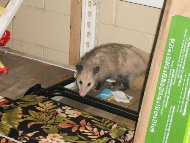 Mama Possum is not amused.