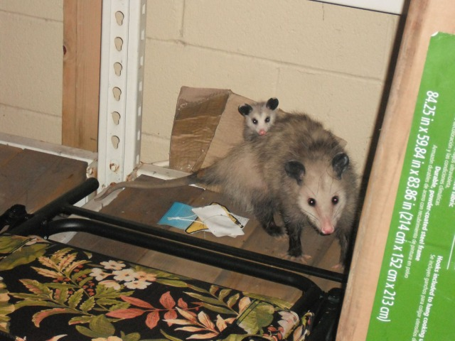 Only ONE possum baby? Mommy!!!! Take Possum Surprise back to the store NOW!!!!