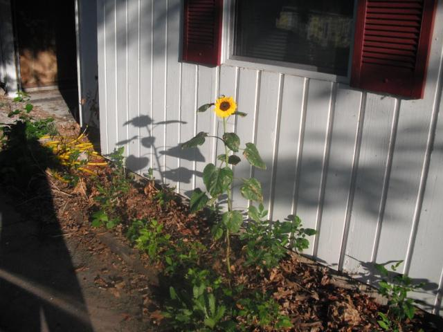 Evil Squirrel's lone achievement in gardening... the sad sunflower.