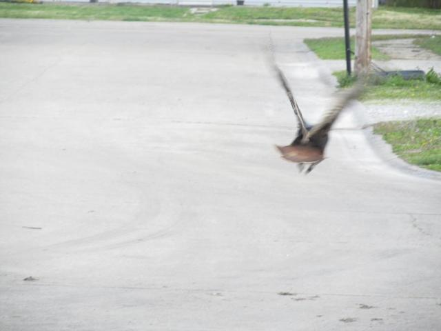As God is my witness, turkeys CAN fly!!!
