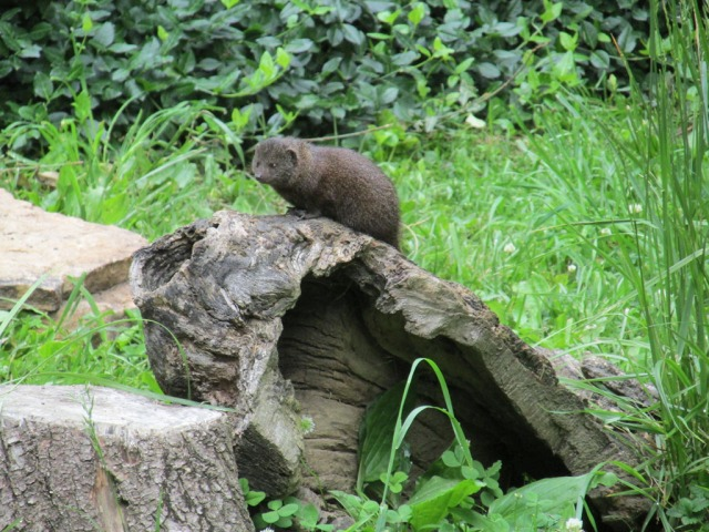 I demand there be a Monday Mongoose feature on this blog!