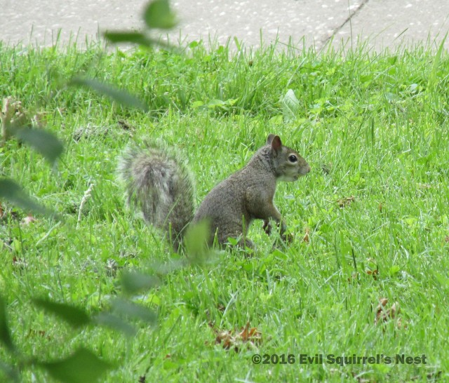 60616squirrel001