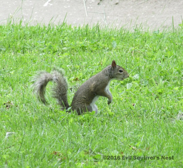 60616squirrel002