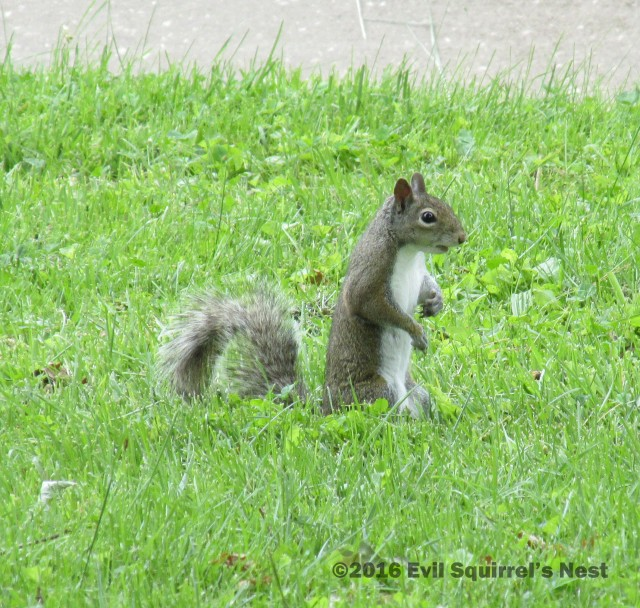 60616squirrel004
