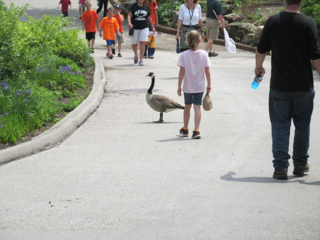 Go ahead and touch the goose, little girl.  Nothing bad could possibly happen...