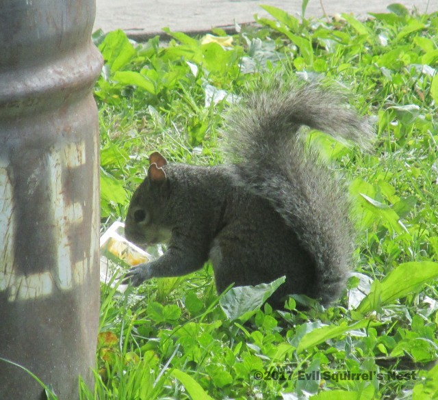 squirrel eating cheese