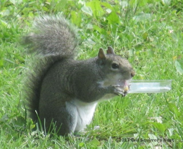 squirrel eating cheese tongue