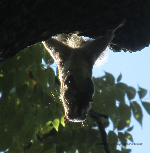 squirrel hanging upside down