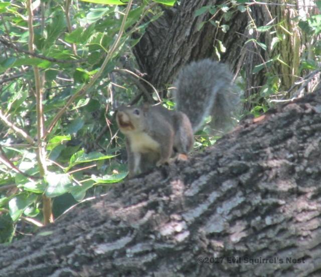 squirrel mustache