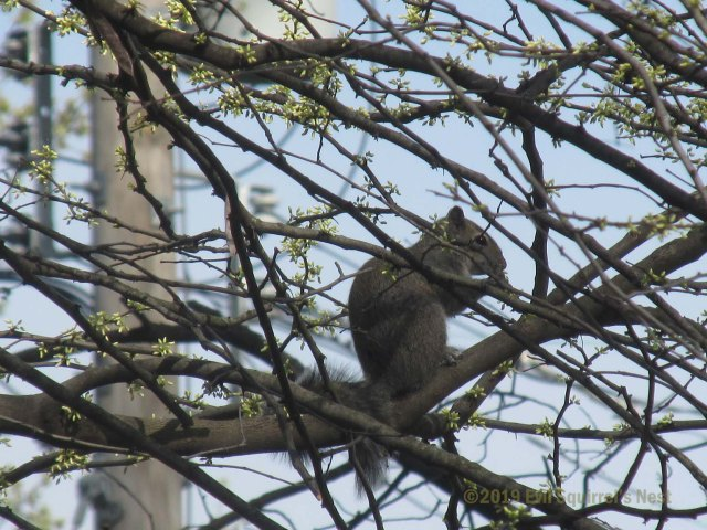 squirrel in blooming tree